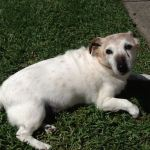 White and tan terrier with canine cognitive dysfunction