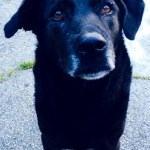 Senior black dog with gray muzzle