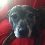 Senior dog with canine cognitive dysfunction