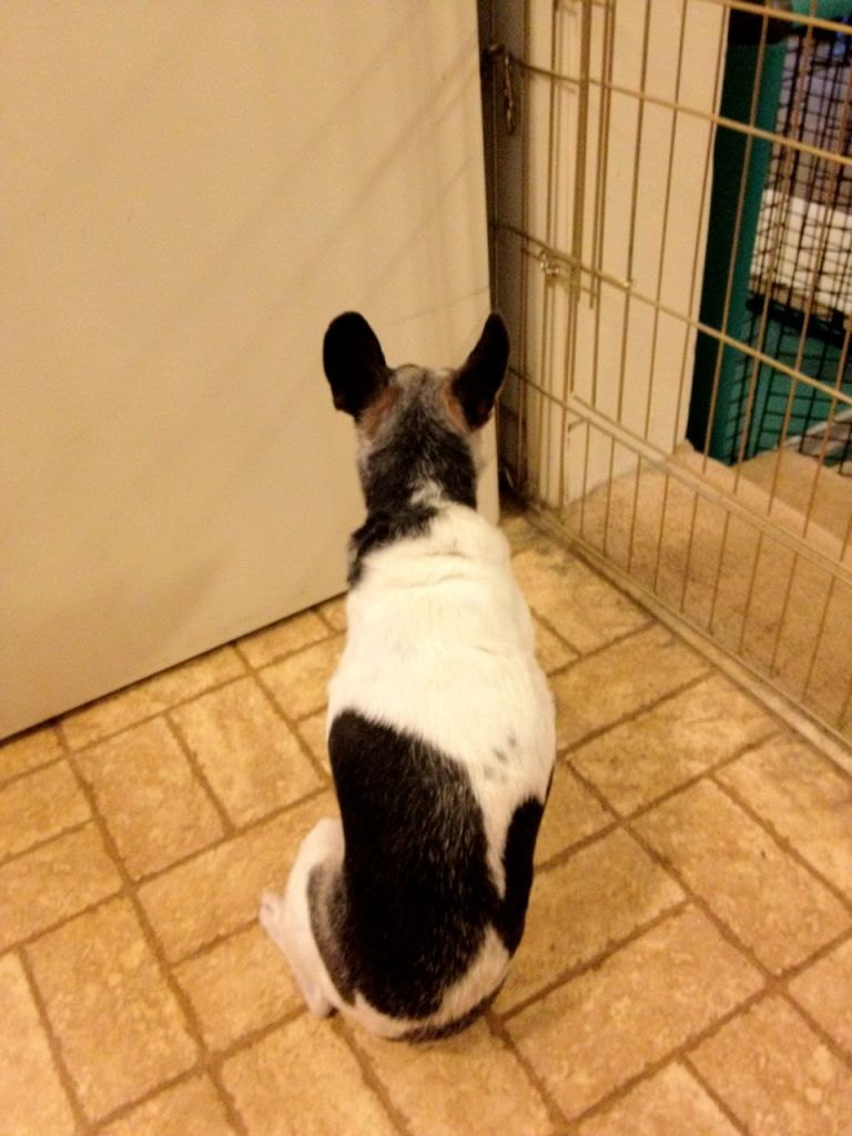 Cricket, dog with canine cognitive dysfunction, sitting with her head in a corner