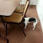 Terrier with dementia standing with head under chair