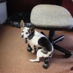 Cricket, dog with dementia, sitting awkwardly on the base of a chair