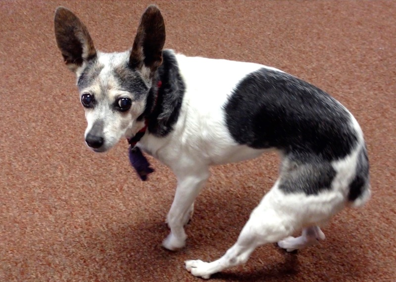 Rat terrier with dementia circling