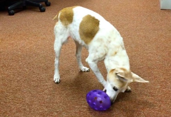 A brown and white rat terrier is nudging a purple oval food toy with holes in it, to get the food to come out.