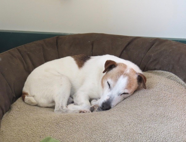 A Jack Russell terrier with canine cognitive dysfunction