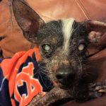 Chinese crested with dog dementia