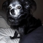 Small black dog with dementia