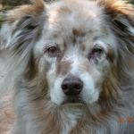 Old Australian shepherd dog with dementia