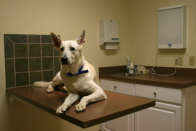 Older white German Shepherd on vet exam table