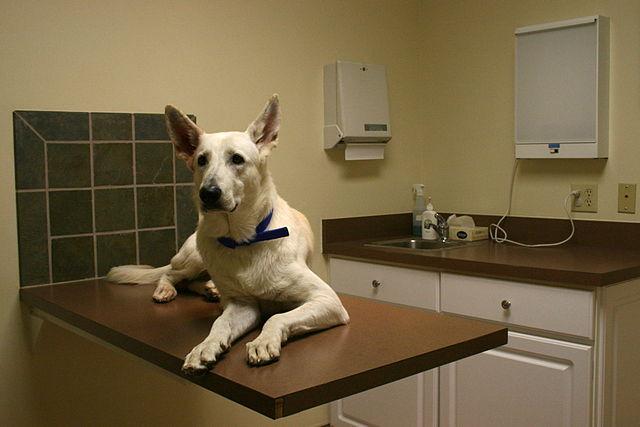 Older white German Shepherd on vet exam table