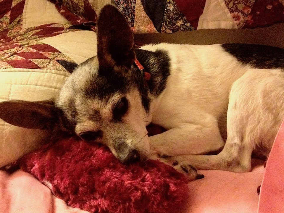 small, elderly rat terrier with her head on a pillow