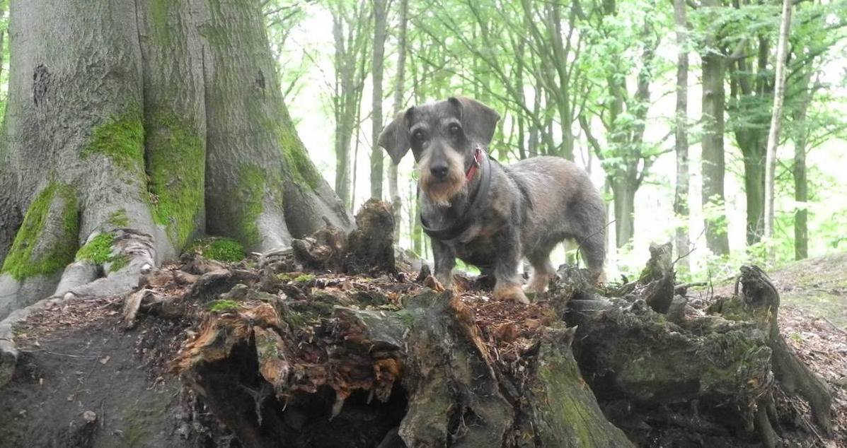 Suus, a wirehaired dachshund, standing on tree roots