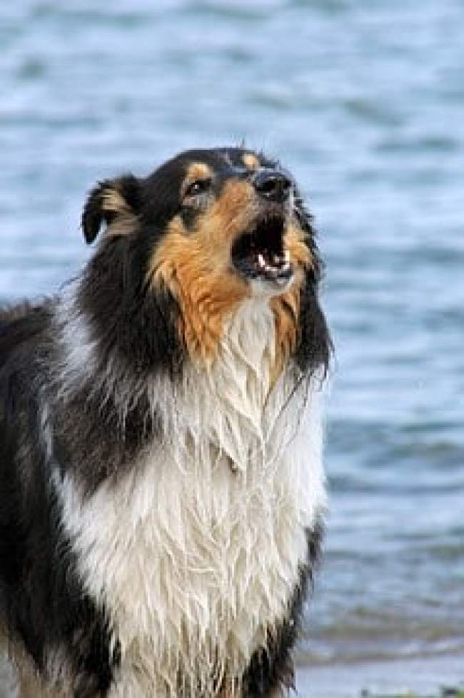 border collie howling