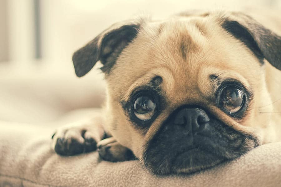 10 Highest Quality & Best Dog Food for Pugs in [year] 27