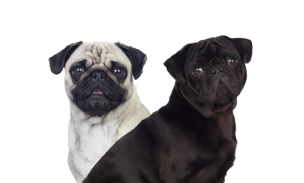 10 Best & Highest Quality Dog Foods for Pugs in 2020 30