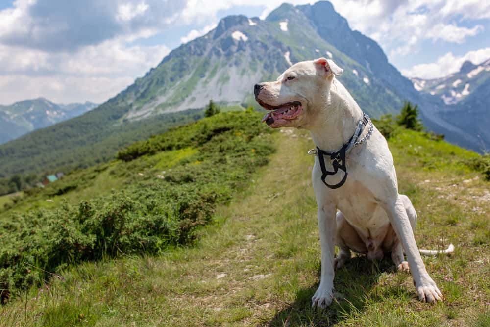 10 Best (Highest Quality) Dog Foods for Pitbulls in 2021 28