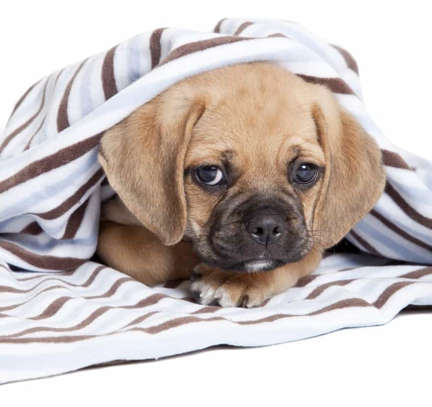 10 Healthiest & Best Dog Food for Puggles in [year] 27