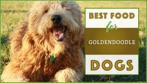 10 Best (Highest Quality) Dog Foods for Goldendoodles in 2020 1