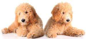 10 Best (Highest Quality) Dog Foods for Goldendoodles in 2021 27
