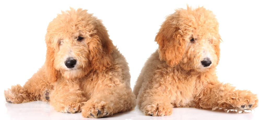 10 Healthiest & Best Dog Food for Goldendoodles in [year] 27