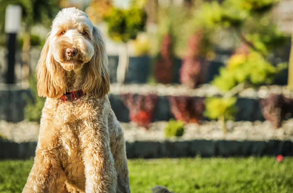 best dog foods for goldendoodle