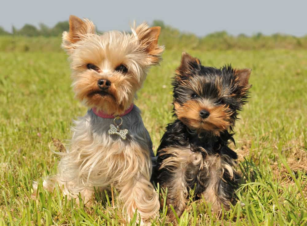 best dog food for yorkipoo
