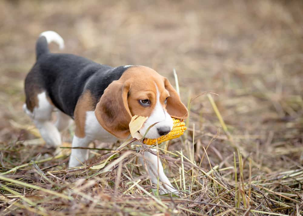 10 Best (Highest Quality) Dog Foods for Beagles in 2021 28