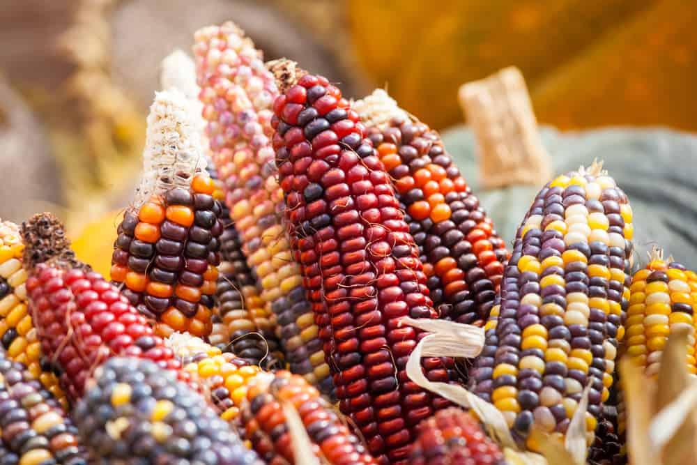 corn-free dog food