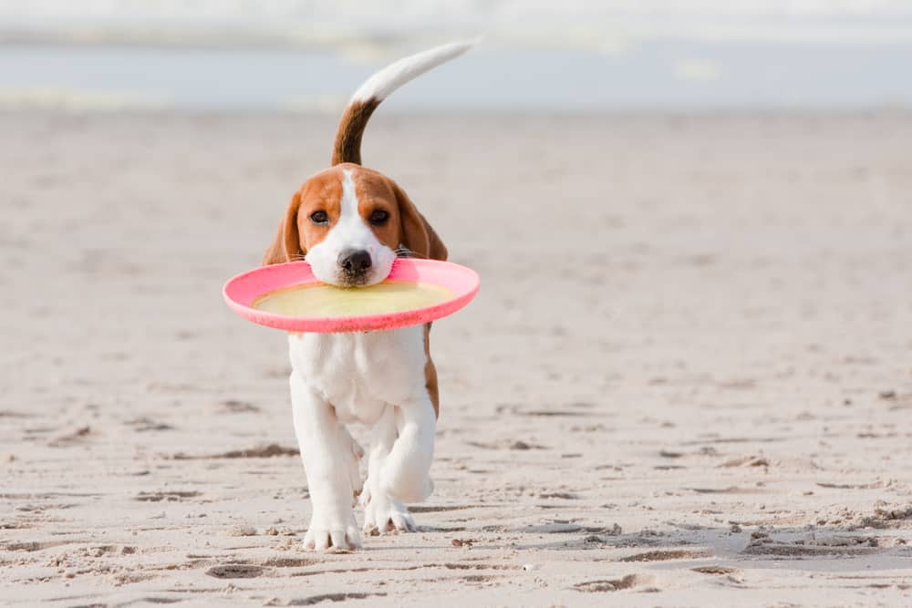10 Best (Highest Quality) Dog Foods for Beagles in 2021 27