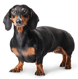 10 Healthiest & Best Dog Food for Dachshunds in [year] 1
