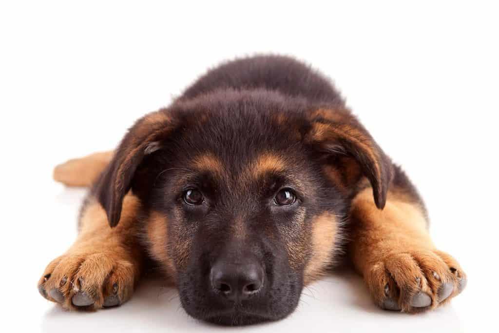 Top 10 Healthiest & Best Dog Food for German Shepherds in [year] 28