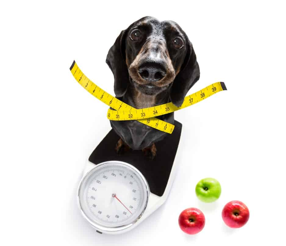 Does Your Dog Need A Low-Calorie Dog Food? 4