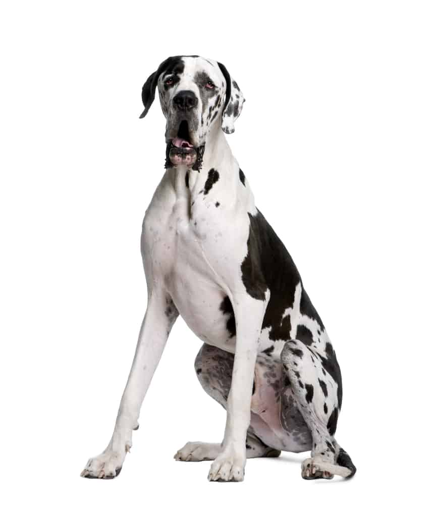 Best Dog Food For Great Danes: Top Puppy, Adult & Senior Recommendations for 2021 2