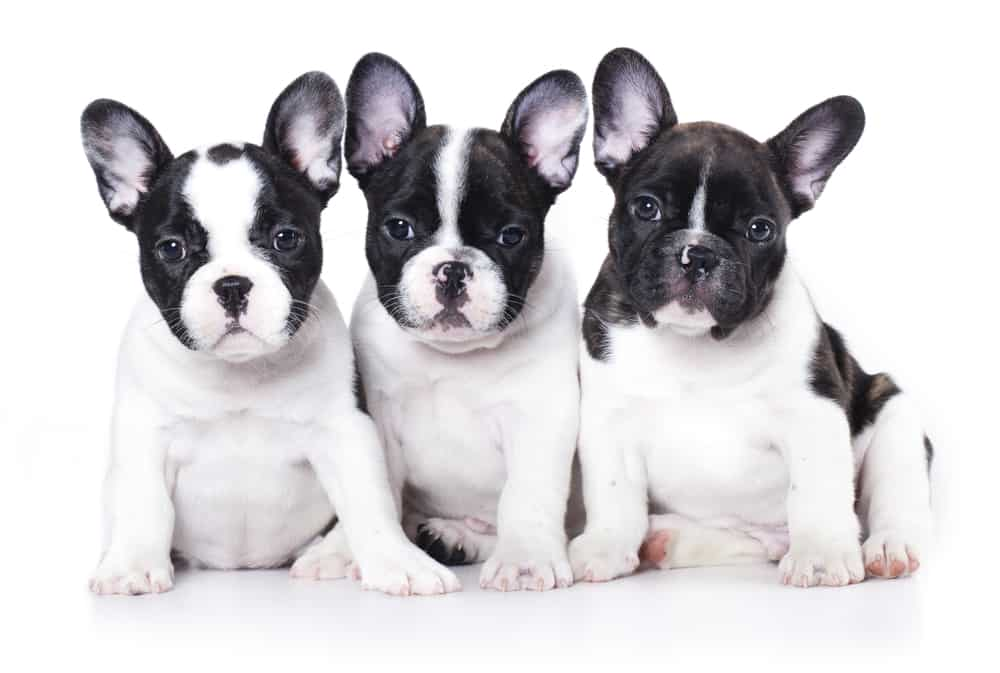 10 Best Dog Foods for French Bulldogs in [year] 28
