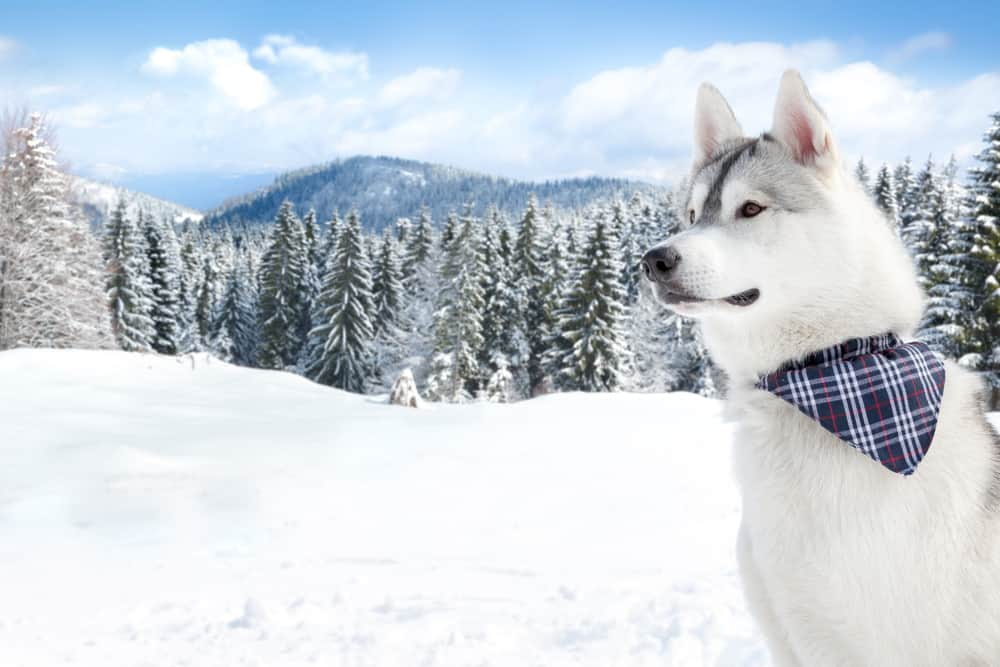 best dog food for Siberian Huskies