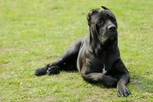 10 Best (Healthiest) Dog Food for Cane Corsos In 2020 30