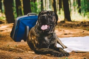 10 Best (Healthiest) Dog Food for Cane Corsos In 2020 32