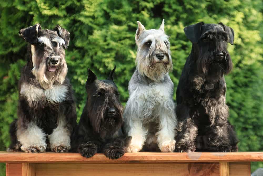 dog food for miniature schnauzer