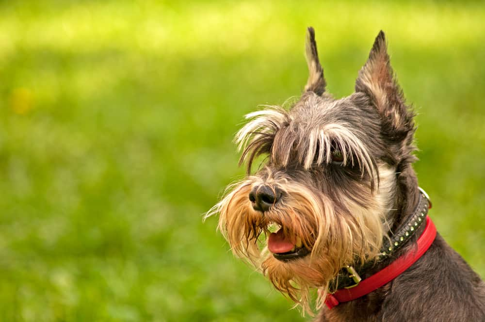 10 Best (Healthiest) Dog Food for Miniature Schnauzers in 2021 27