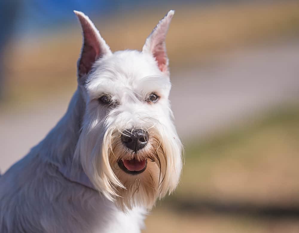 Best Dog Food for Miniature Schnauzer