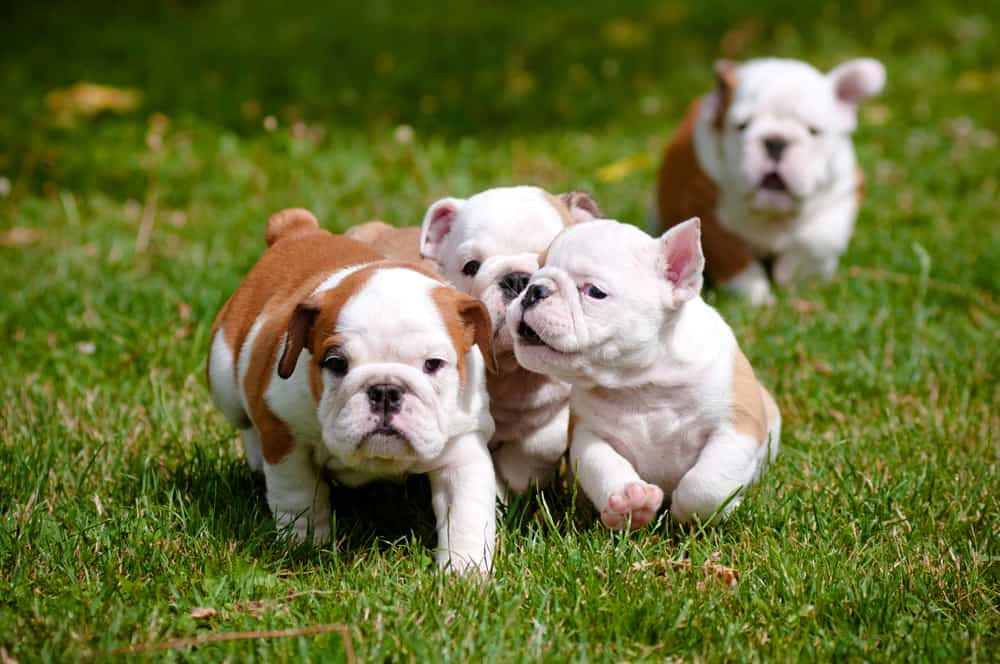 10 Best & Healthiest Dog Food for Bulldogs in 2021 28
