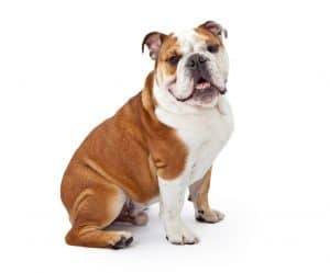 10 Best & Healthiest Dog Food for Bulldogs in 2021 1