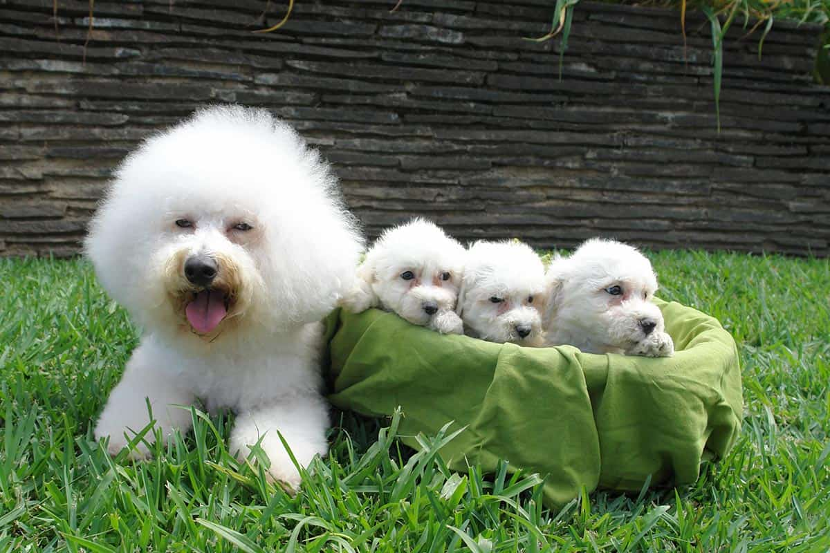 10 Healthiest & Best Dog Food for Bichon Frise in [year] 27