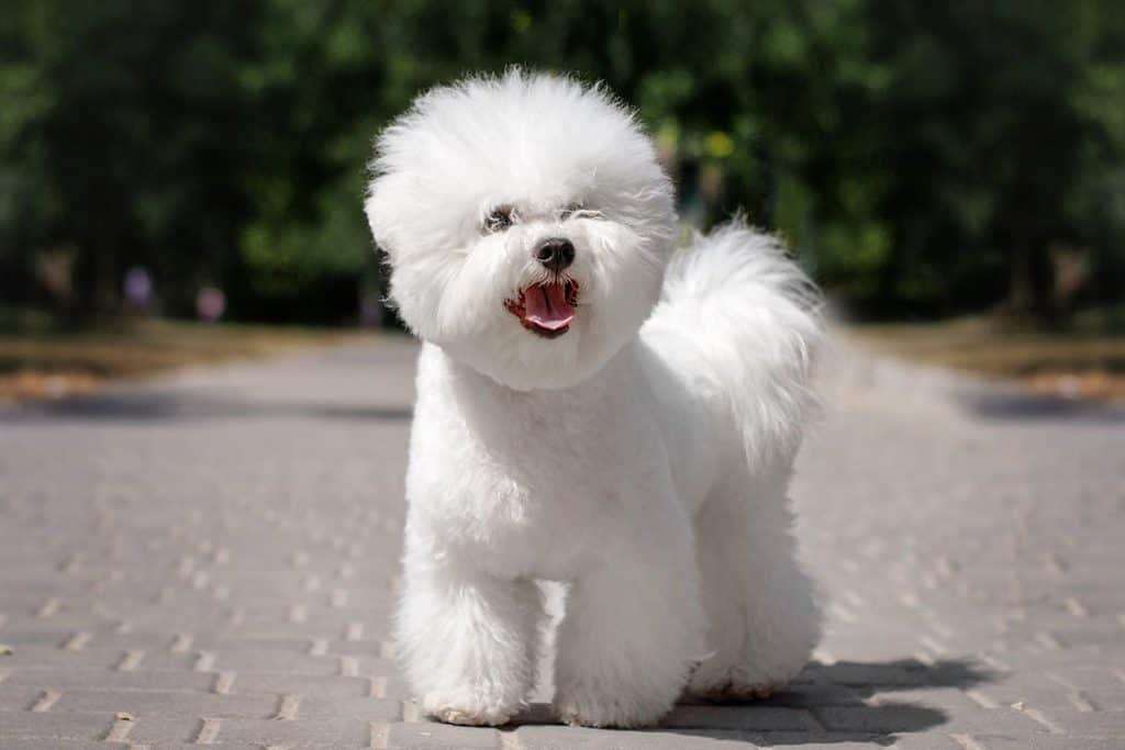 10 Best (Healthiest) Dog Foods for a Bichon Frise in 2021 28
