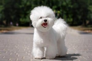10 Best (Healthiest) Dog Foods for a Bichon Frise in 2020 28
