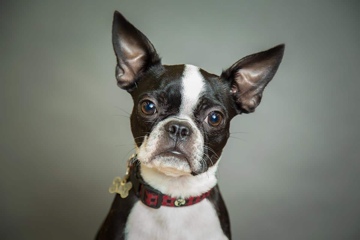 10 Best (Healthiest) Dog Food for Boston Terriers in 2020: Best Brands Revealed! 30