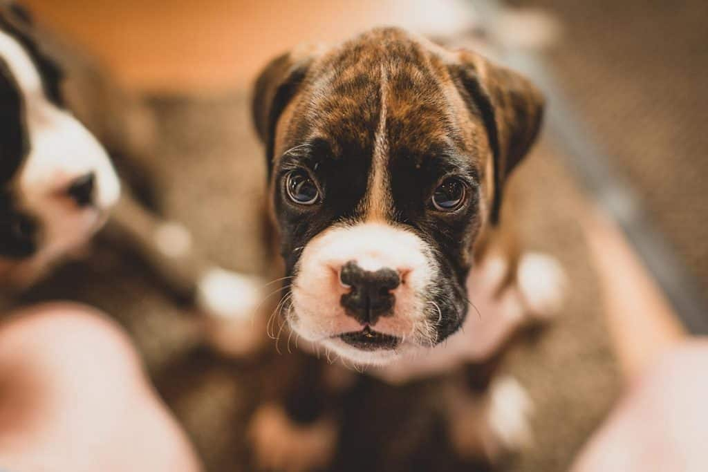 10 Best & Healthiest Dog Food for Boxers in 2020 29
