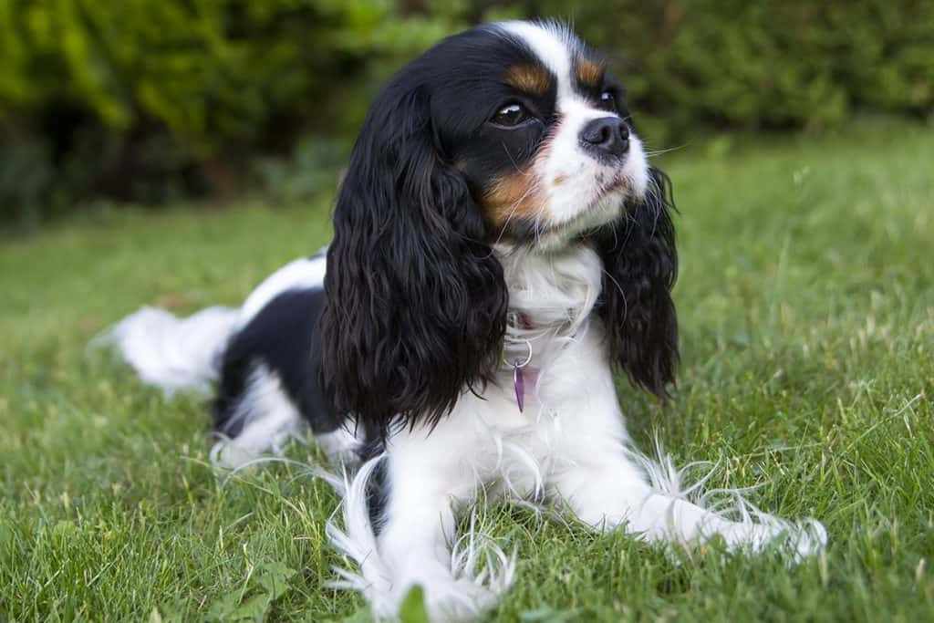 10 Best Dog Foods For Cavalier King Charles in 2020 28