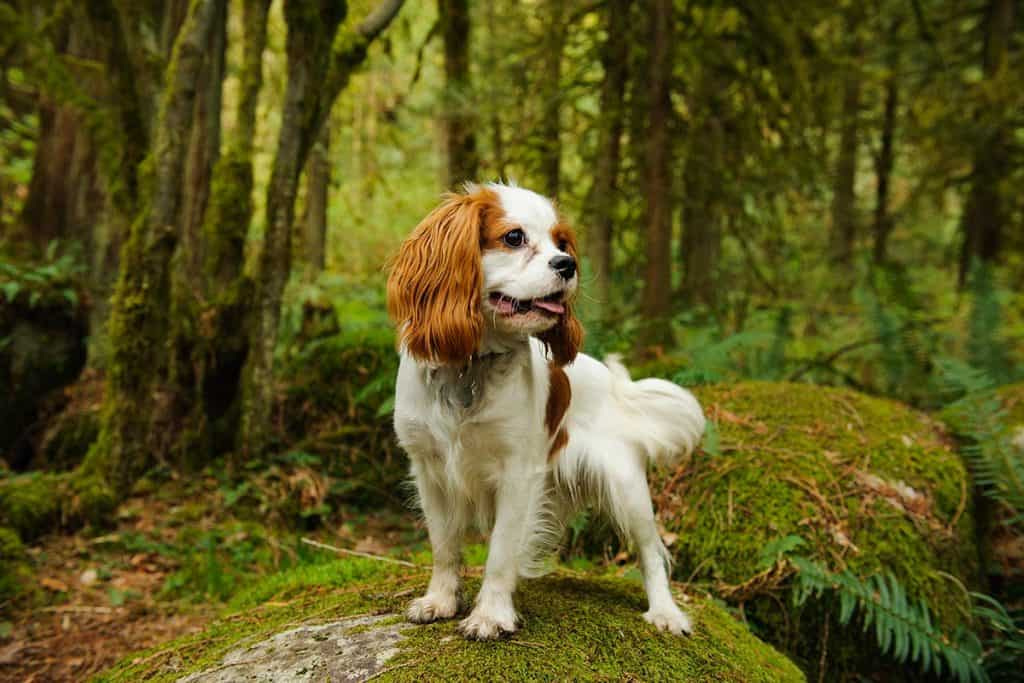 10 Best Dog Foods For Cavalier King Charles in 2021 27