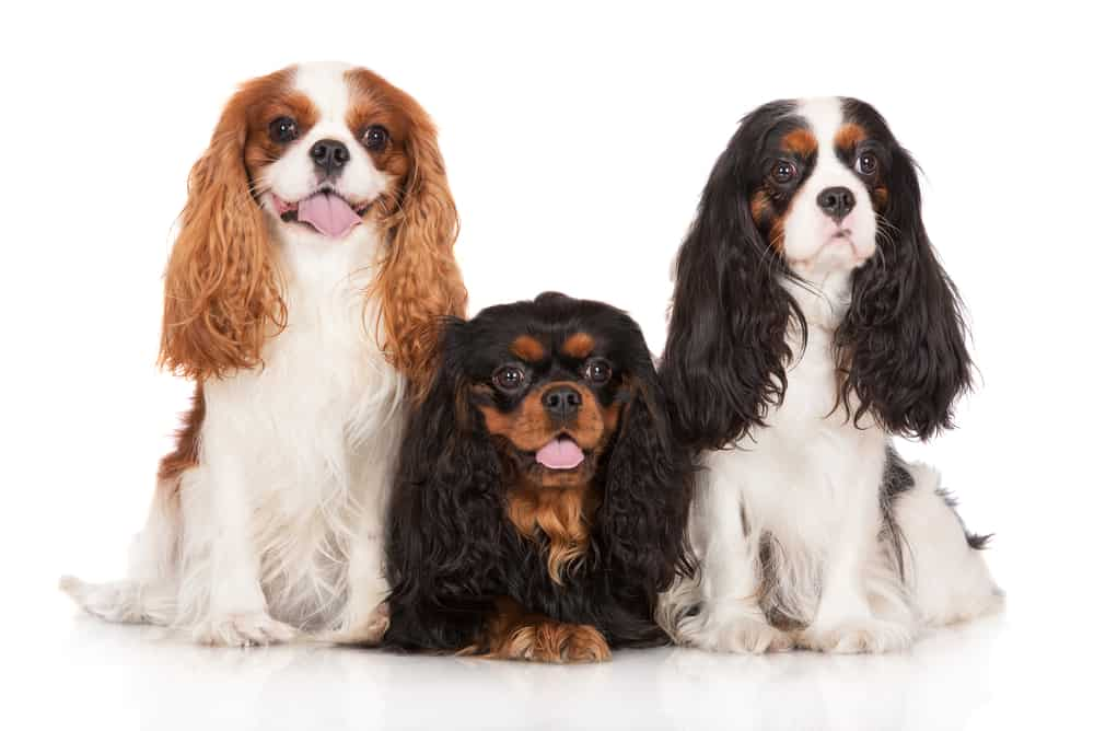 10 Best Dog Foods For Cavalier King Charles in 2021 29